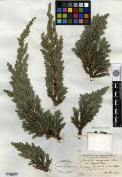 Juniperus squamata image