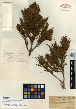 Juniperus gracilior image