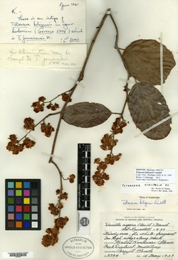 Image of Tetracera hydrophila
