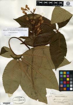 Image of Aesculus x neglecta
