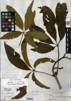 Image of Aesculus mutabilis