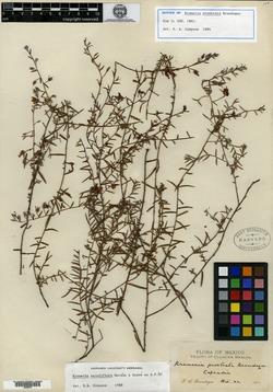 Image of Krameria prostrata