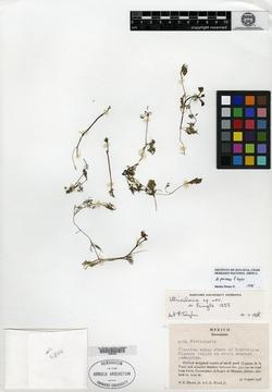 Image of Utricularia perversa
