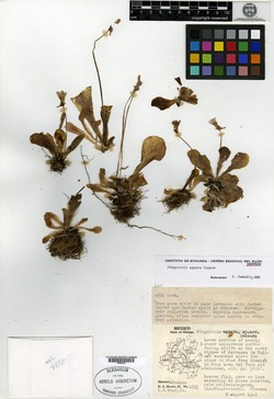 Image of Pinguicula agnata