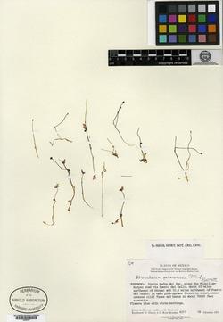 Image of Utricularia petersoniae