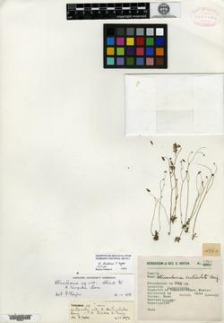 Image of Utricularia hintonii