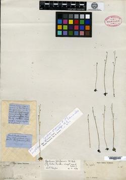 Image of Genlisea filiformis