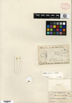 Image of Utricularia adpressa