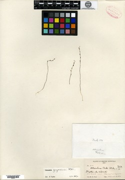 Image of Utricularia peckii