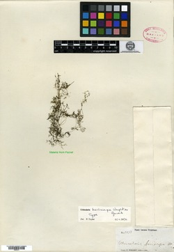 Image of Utricularia breviscapa