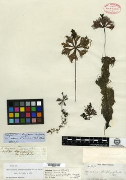 Image of Utricularia incisa