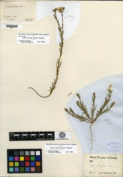 Image of Cathartolinum alatum