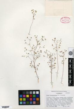 Image of Linum bicarpellatum