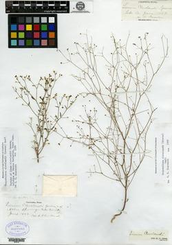 Image of Linum clevelandii