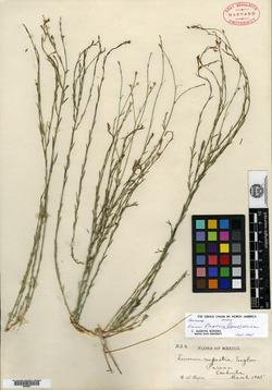 Image of Linum flagellare