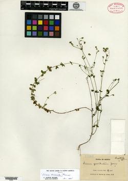 Image of Linum cruciatum