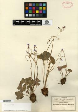 Image of Oxalis nudiflora