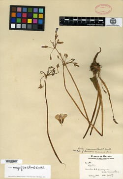 Image of Oxalis magnifica