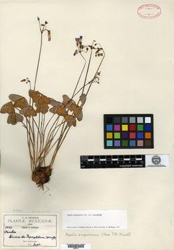 Oxalis tetraphylla image
