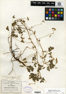 Oxalis albicans image