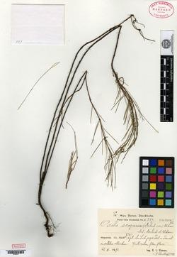 Image of Oxalis scoparia