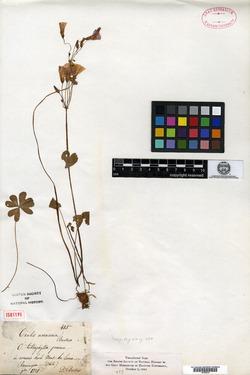 Oxalis arenaria image