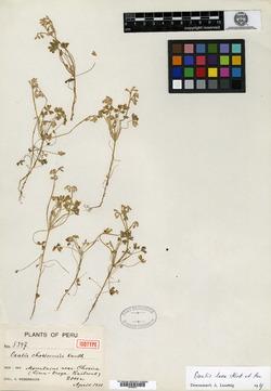 Oxalis chosicensis image