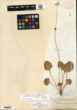 Image of Parnassia intermedia