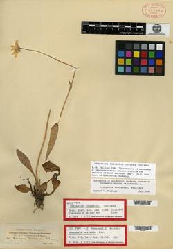 Image of Parnassia mexicana