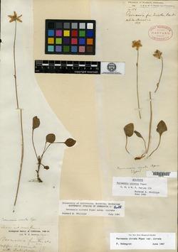 Image of Parnassia cirrata