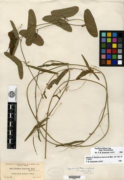 Passiflora biflora image