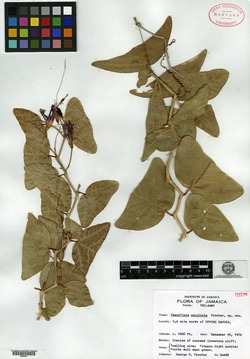 Image of Passiflora calcicola