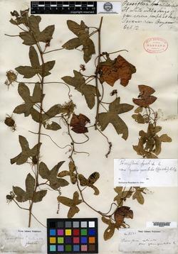 Passiflora ciliata var. quinqueloba image