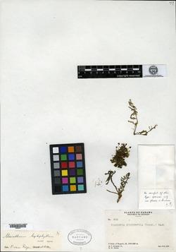 Marathrum foeniculaceum image