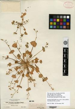 Image of Claytonia parvifolia