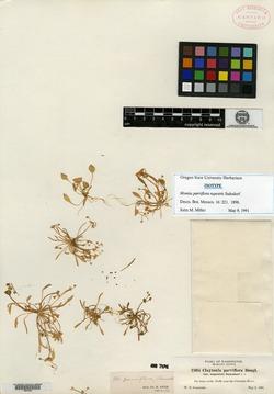 Image of Limnia rupestris