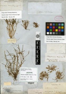 Image of Claytonia tenuifolia