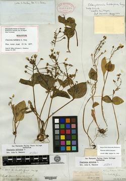 Image of Claytonia bulbifera