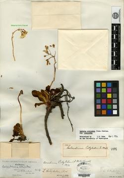 Image of Calandrinia cotyledon