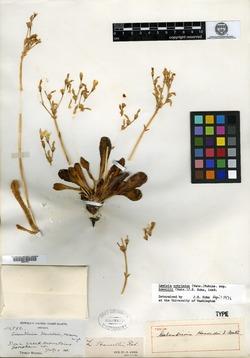 Image of Calandrinia howellii