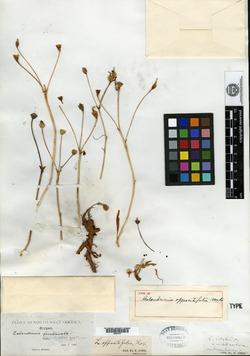Image of Calandrinia oppositifolia