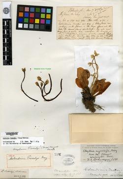 Image of Calandrinia tweedyi
