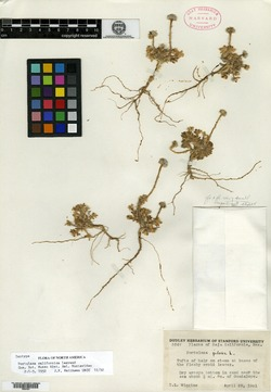 Image of Portulaca californica