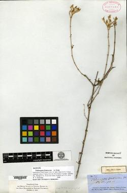 Talinopsis frutescens image