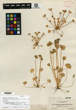 Image of Claytonia latifolia