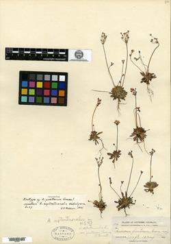 Image of Androsace pinetorum