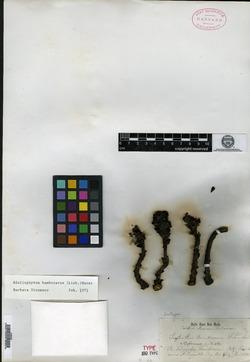 Bdallophytum americanum image