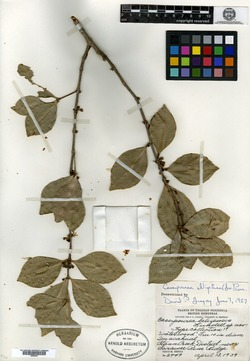 Image of Cassipourea belizensis