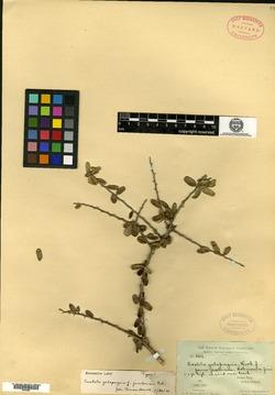 Castela galapageia image