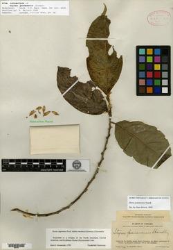 Styrax panamensis image